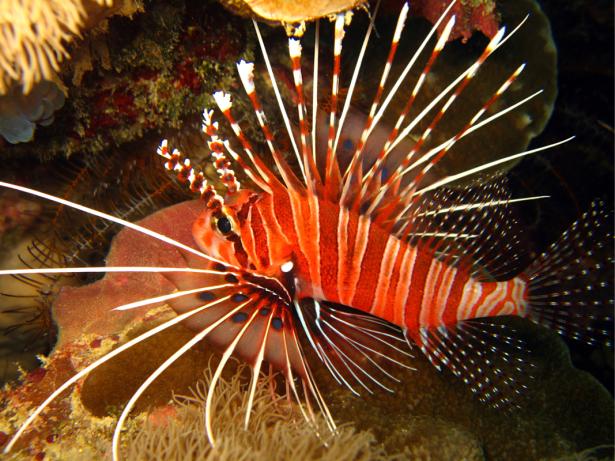 Фотообои для ванны крылатка рыбка (underwater-world-00208)
