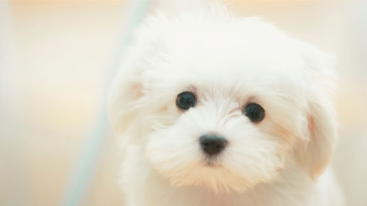 Фотообои собака белая (animals-0000015)