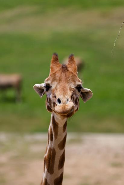 Фотообои жираф саванна (animals-0000093)