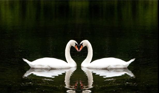 Фотообои лебединая песня (animals-0000140)