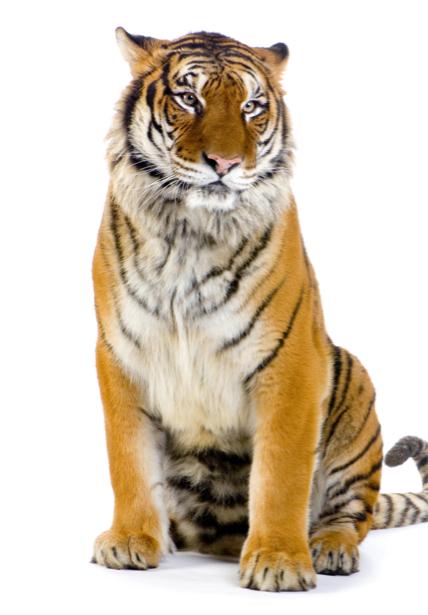 Фотообои тигр на белом (animals-0000253)