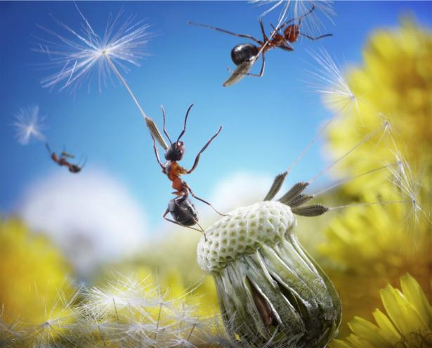 Фотообои муравьи полет на одуваньчике (animals-0000323)