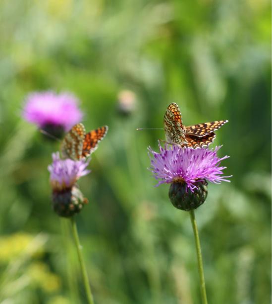 Фотообои бабочка в поле (animals-0000332)
