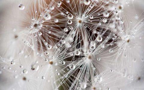 Фотообои одуванчики в росе (flower672)