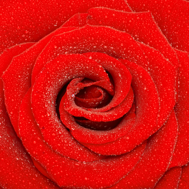 Красивые цветы фото обои Алая, красная роза (flowers-0000078)