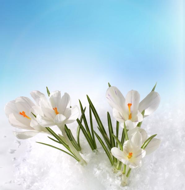 Белые крокусы Обои для стен фото (flowers-0000130)