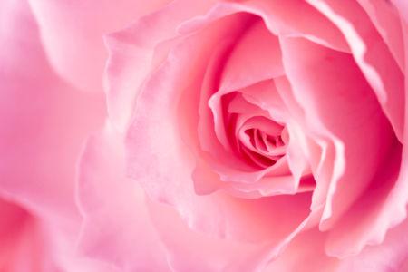 Розовая роза обои на стену (flowers-0000264)