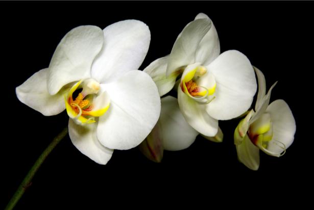 Обои фото цветы ветка орхидеи (flowers-0000553)