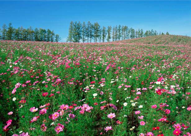 Фотообои поле полевые цветы лето (nature-00224)