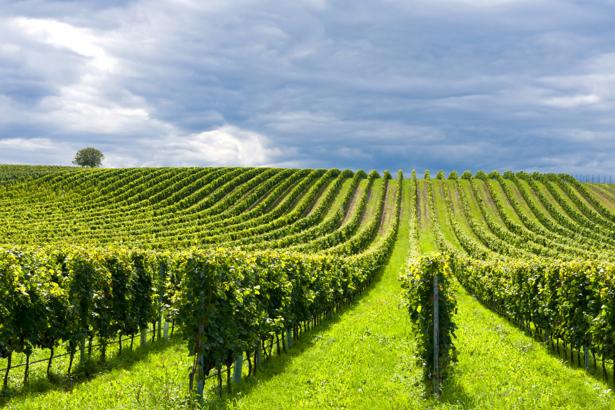 Фотообои виноградник фото пейзаж (nature-00494)