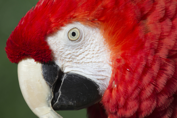 Фотообои красный ара (animals-0000480)