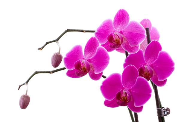 Фотообои на стену цветы цветущая орхидея (flowers-0000027)