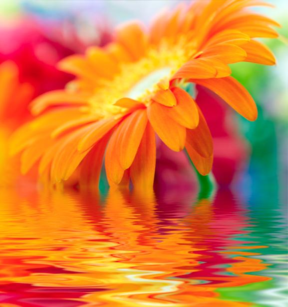 Обои фото Оранжевая гербера (flowers-0000320)