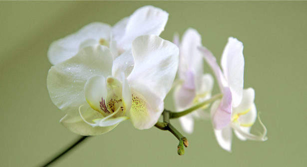 Фото обои Ветка белой орхидеи (flowers-0000369)