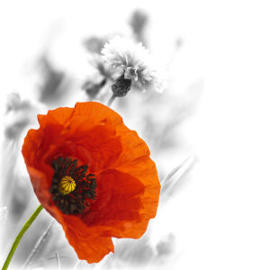 Цветок фото обои Мак (flowers-0000465)