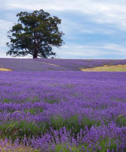 Фотообои склоны лавандовых полей (nature-00563)