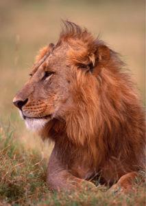 Фотообои лев, львица (animals-0000133)