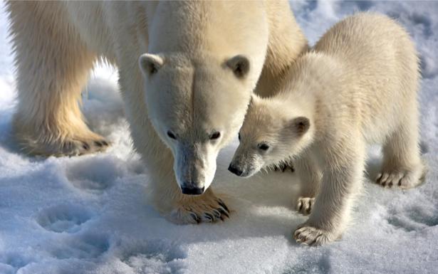 Фотообои белый медведь и медвежонок (animals-0000261)