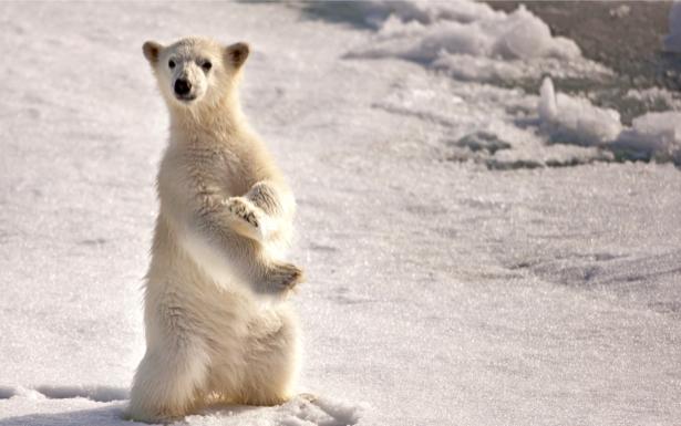 Фотообои белый медведь на снегу (animals-0000263)