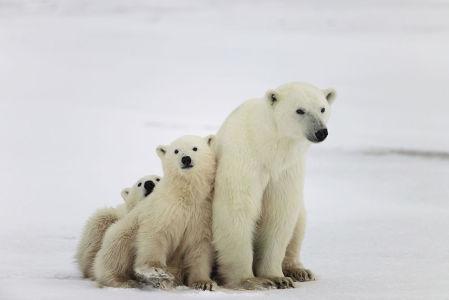 Фотообои Семья белых медведей (animals-524)