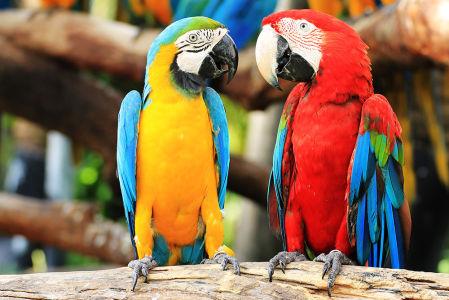 Фотообои Два попугая (animals-537)