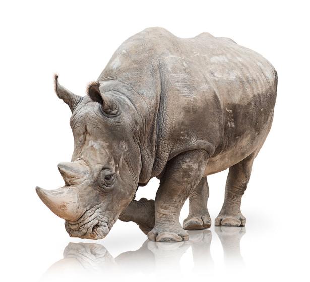 Фотообои Носорог (animals-581)