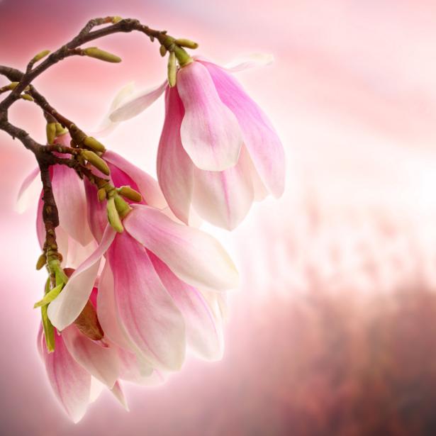Фотообои цветов на стену Ветка магнолии (flowers-0000005)