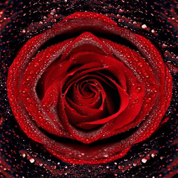 Алая, красная роза фотообои цветы на стену фото (flowers-0000075)