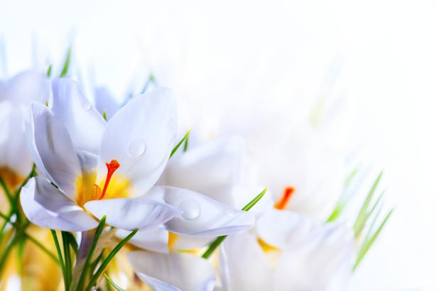 Белые крокусы Обои для стен фото (flowers-0000131)