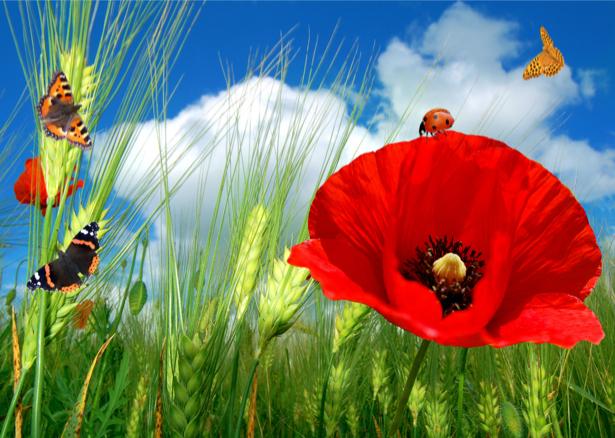 Обои фото Полевые маки с бабочками (flowers-0000160)