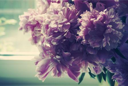 Лиловые пионы фотообои (flowers-0000170)