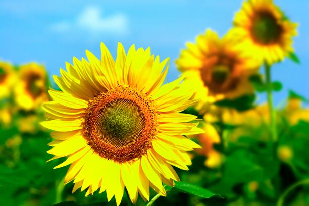 Поле подсолнухов Красивые цветы фото обои (flowers-0000230)