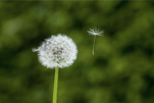 Фотообои на стену цветок - Одуванчик (flowers-0000376)