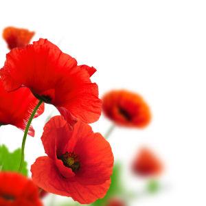 Фото обои для стен Маки (flowers-0000466)