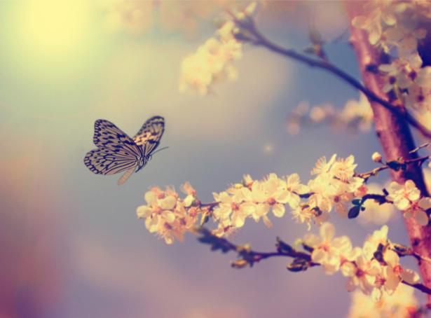 Обои на стену бабочка на цветущей яблоне (flowers-0000635)