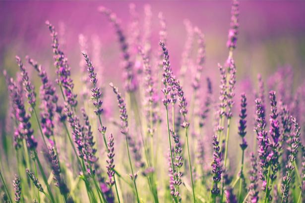 Фото обои цветы лаванда (flowers-0000661)