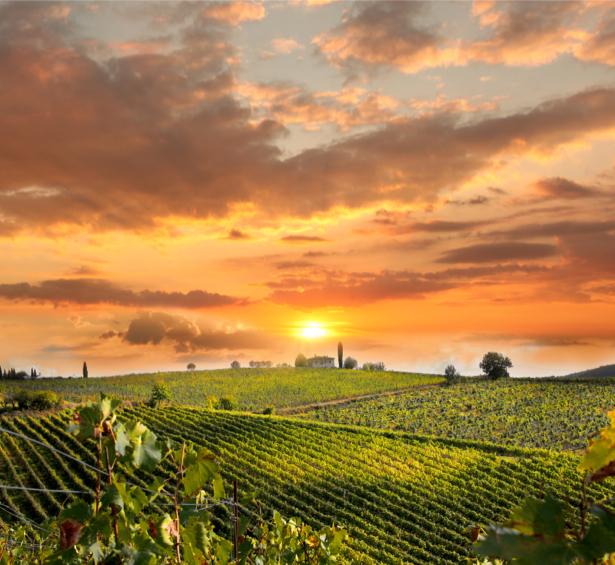 Фотообои виноградник закат (nature-0000633)