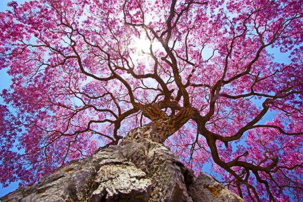 Фотообои дерево сакуры (nature-0000814)