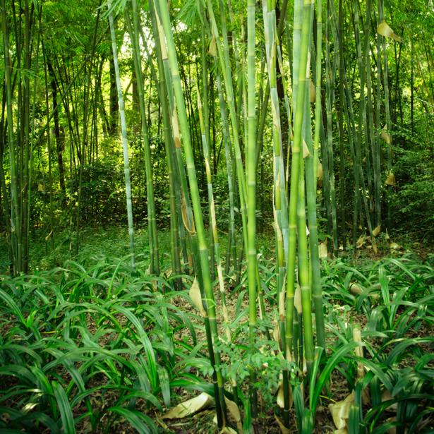 Фотообои бамбуковый лес (nature-00541)