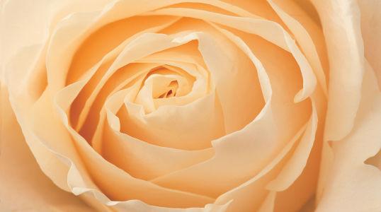 Фотообои Роза (4.4x2.45)
