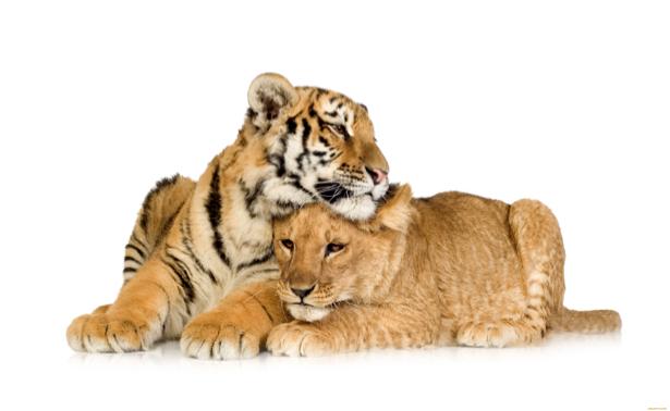 Фотообои львенок и тигренок (animals-0000124)