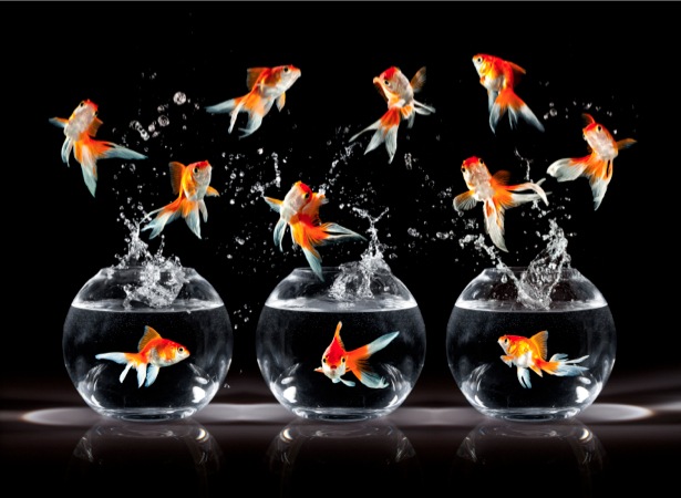 Фотообои золотая рыбка (animals-0000219)