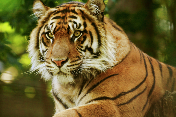 Фотообои Тигр на отдыхе (animals-0000448)