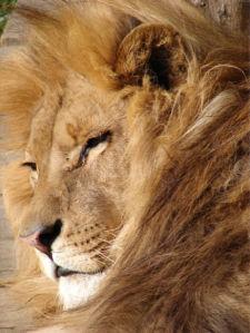Фотообои Лев лохматый (animals-0000456)