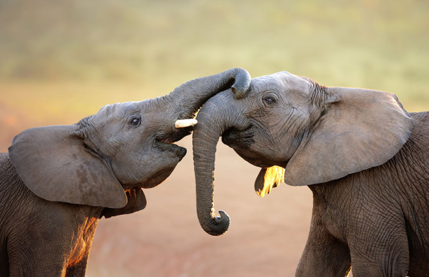 Фотообои Игры слонят (animals-554)