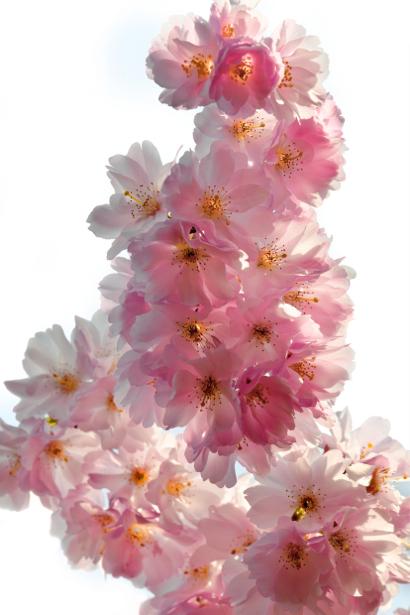 Цветущая ветка фотообои цветов на стену (flowers-0000008)