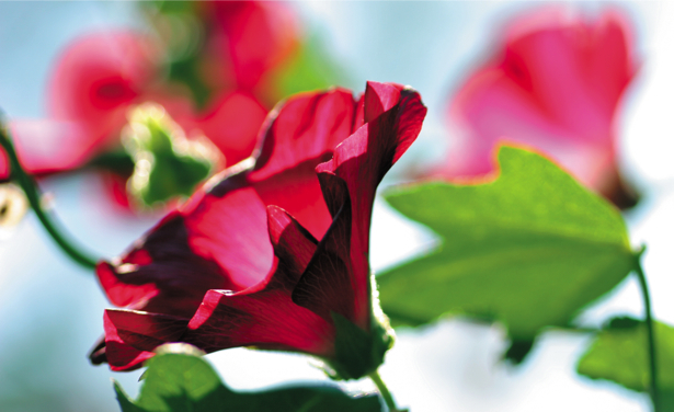 Фото обои Ветки красного цветка (flowers-0000346)
