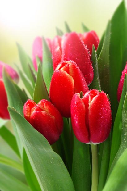 Фото обои для стен красные тюльпаны (flowers-0000595)