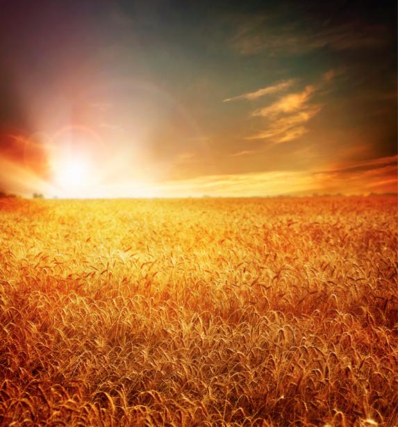 Фотообои пшеница, поле, закат (nature-00297)