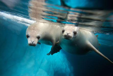 Фотообои Белые морские котики (underwater-world-00218)